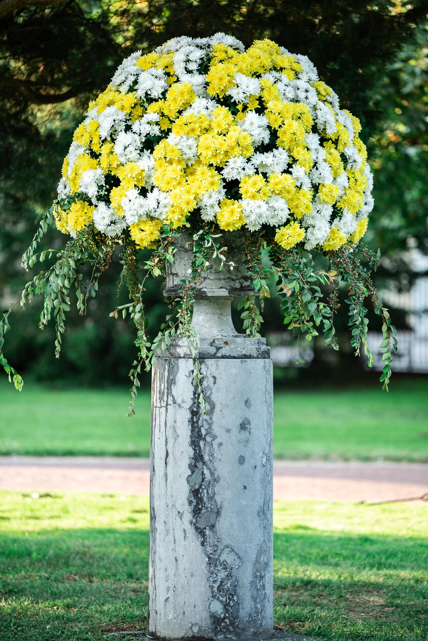 Wiszące ogrody księżnej Izabeli chryzantema Pina Colada